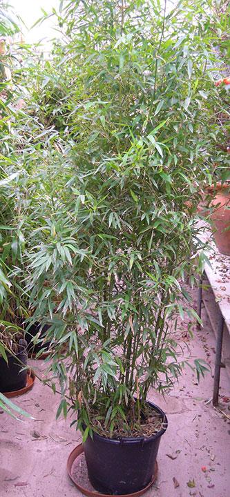 Pflanzenverleih und Pflanzen mieten - Bambus-3-Meter