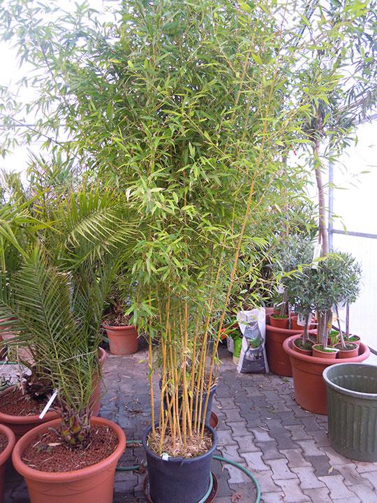 Pflanzenverleih und Pflanzen mieten - Bambus-groß-4-Meter