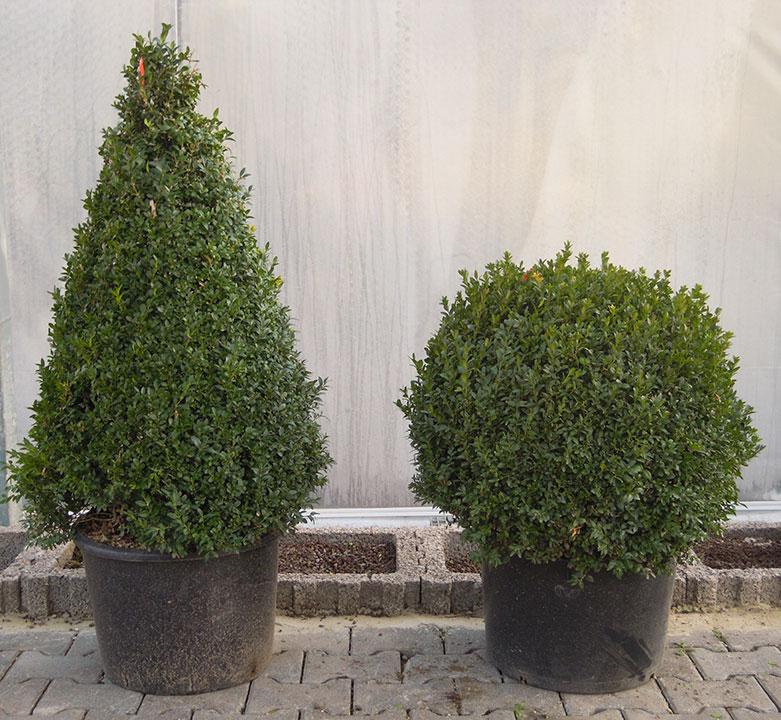 Pflanzenverleih und Pflanzen mieten - Bus-Kegel-und-Kugel