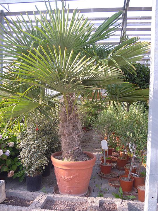 Pflanzenverleih und Pflanzen mieten - Palme