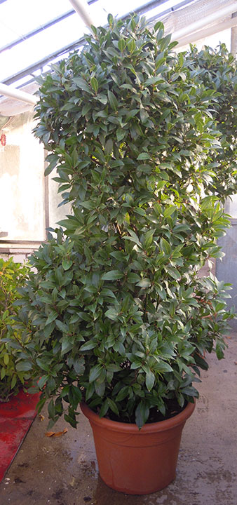 Pflanzenverleih und Pflanzen mieten - Lorbeerbaum-Busch-groß