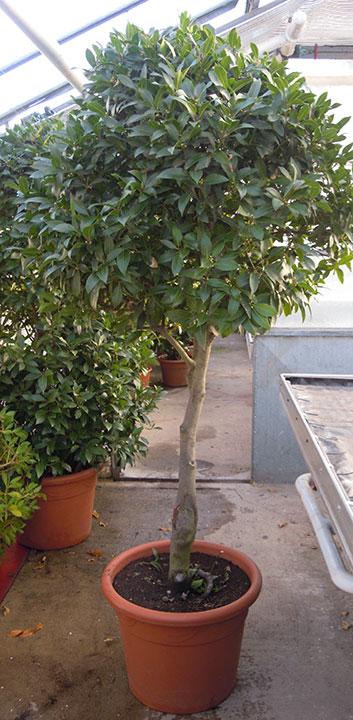 Pflanzenverleih und Pflanzen mieten - Lorbeerbaum-Kugel-groß