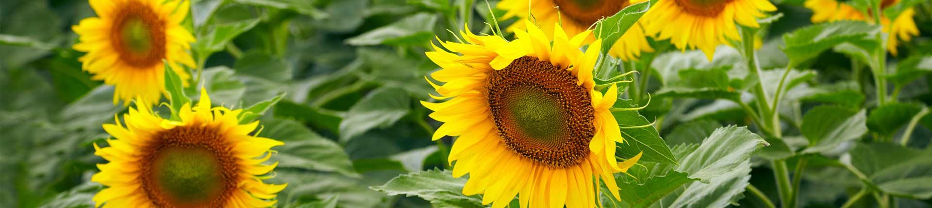 sonnenblumen1